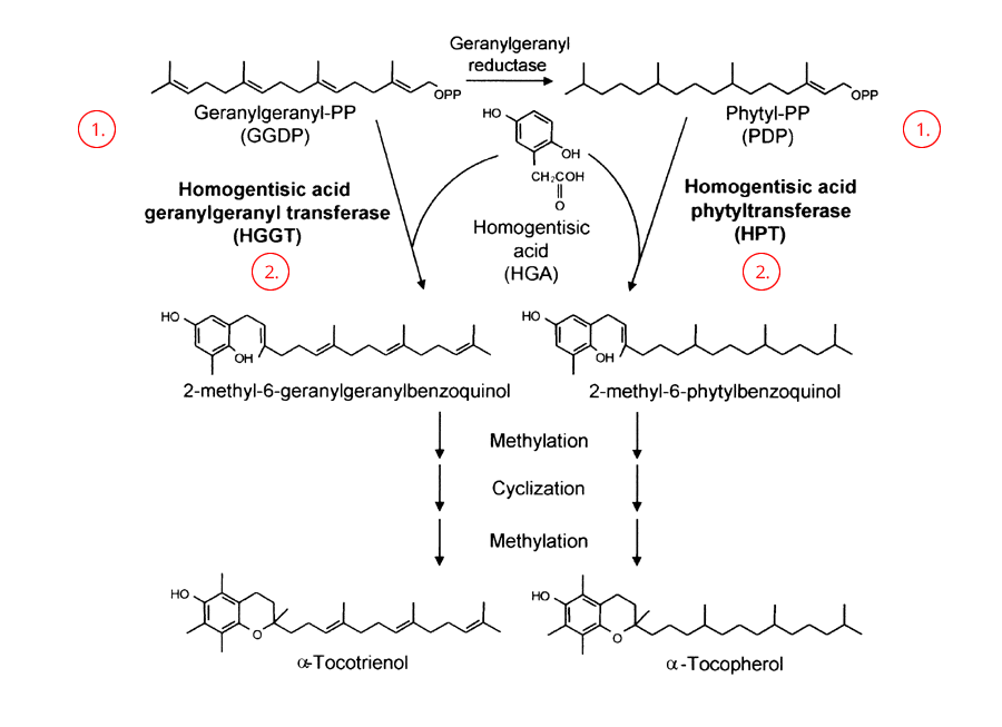 biosynthesis of tocopherols and tocotrienols