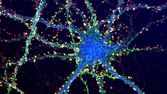 Dendrites Synapses-credit brain facts